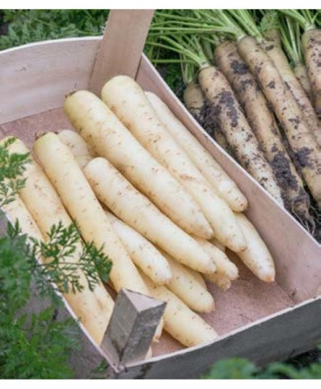 White Satin F1 - 25.000 sem - Seminte de morcovi colorati (calibru seminte > 2.0 mm) tip Nantes de culoare alba cu radacina lunga neteda si subtire de la Bejo
