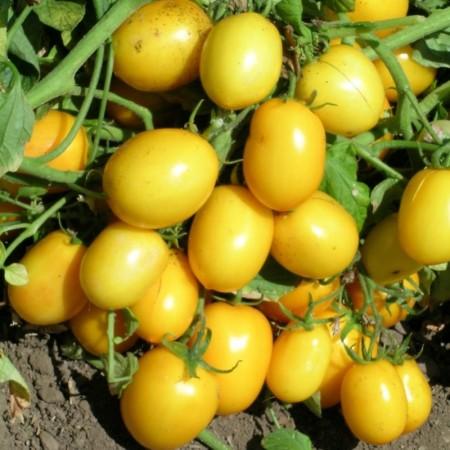 Yellow River F1 - 1000 sem - Seminte de rosii galbene tip prunisoara foarte rezistente de la United Genetics