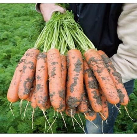 Baltimore F1 - 25.000 sem - Seminte de morcovi orange tip Berlicum/Nantes ( calibru seminte < 2.0 mm) ce se comporta excelent in conditii dificile de dezvoltare fiind destinat consumului in stare proaspata si industrializare de la BEJO