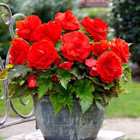 Begonie Double Red (3 bulbi), floare mare dubla, culoare rosu, bulbi de flori