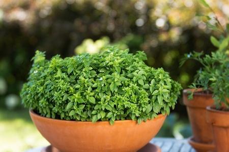 Busuioc Mini (1 gr), Seminte Plante Medicinale Busuioc Mini, Opal