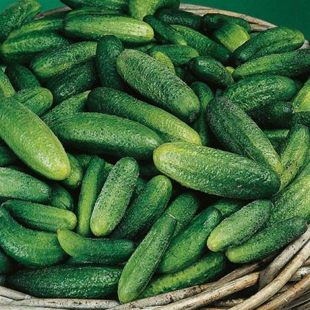 Castraveti Cornichon de Paris (2 g), seminte de castraveti soi semitimpuriu pentru conservare, Kertimag