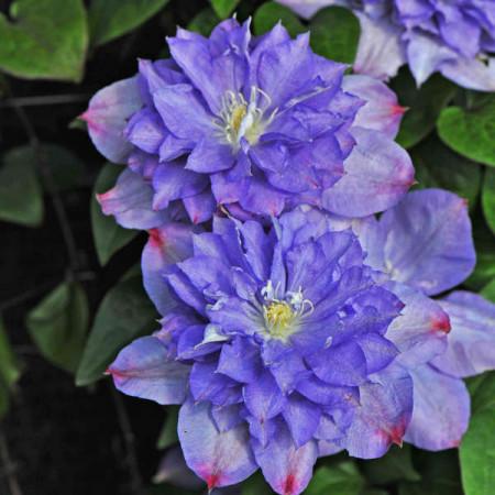 Clematite Blue Explosion (1.5 m in ghiveci de 2 L) tufa ornamentala cataratoare Clematis, care produce 2 tipuri diferite de flori: duble albastre cu margini roz si simple de culoarea lavandei