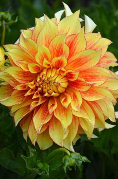 Dalie Decorative Border Orange (1 bulb), culoare portocaliu cu galben, floare anuala, bulbi de flori