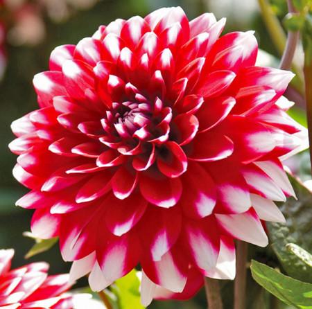 Dalie Decorative Red and White (1 bulb), floare rosu cu alb, anuala, bulbi de Dalii
