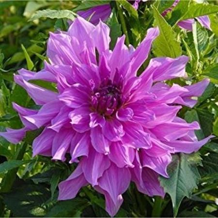 Dalie Lavender Ruffles (1 bulb), floare culoare mov-lavanda, bulbi de flori