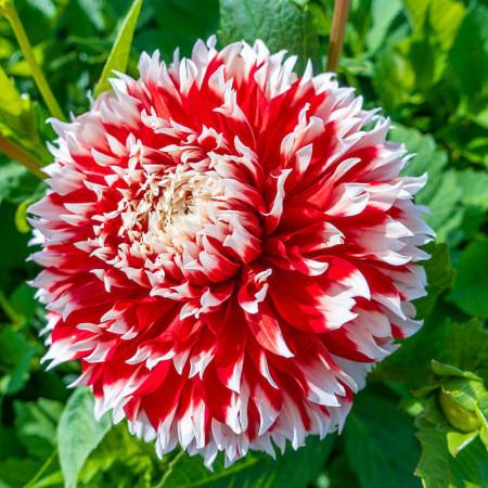 Dalie Noel (1 bulb), floare culoare alb cu rosu, bulbi de flori