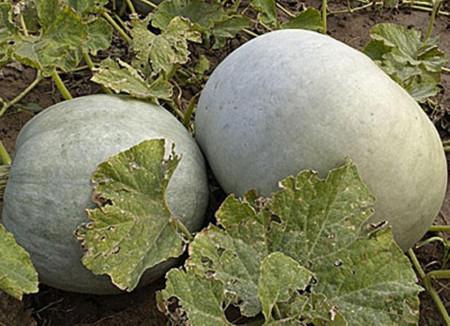 Dovleac Placintar Alb de Plovdiv (50 gr) seminte dovleac placintar bulgaresc miez portocaliu, calitati extraordinare, Opal