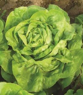 Eliana - 5 gr - Seminte de salata de capatana cu randament ridicat in perioadele calde de culoare verde deschis si greutate medie de 400-500 gr de la ISI Sementi