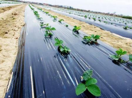 Folia de mulcire neagra perforata din 30 in 30 in zig-zag legume in sere si solarii latime 1.2m/30mic/rola 1000m (15.51Ron/Kg), polietilena de calitate superioara, Sotrafa