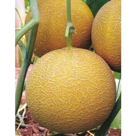 Gediz F1 - 1000 sem - Seminte de pepene galben foarte aromat rotund de la Yuksel