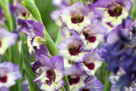 Gladiole Flevo Cool (7 bulbi), culoare floare mov cu alb, bulbi de flori