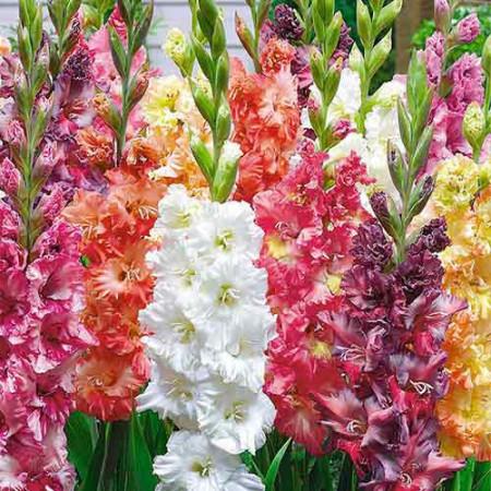 Gladiole Ruffled Mix (7 bulbi), gladiole cu flori mari, gofrate, in culori pastel, bulbi de flori