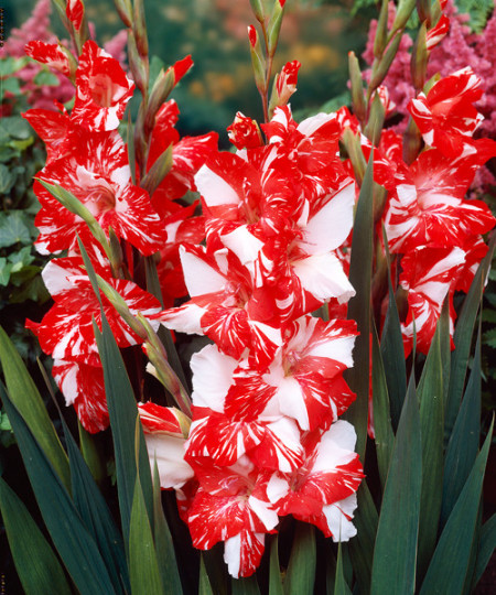 Gladiole Zizanie (7 bulbi), gladiole cu o combinatie superba de rosu si alb, bulbi de flori