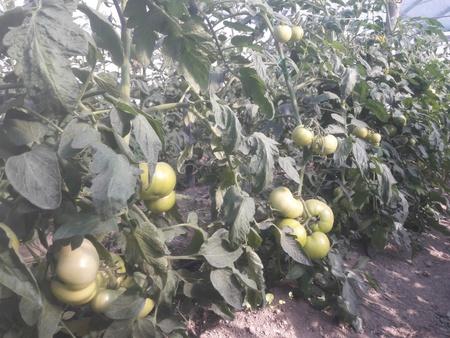 Gramada F1 (0.3 gr) seminte tomate hibrid nou bulgaresc nedeterminat semitimpuriu