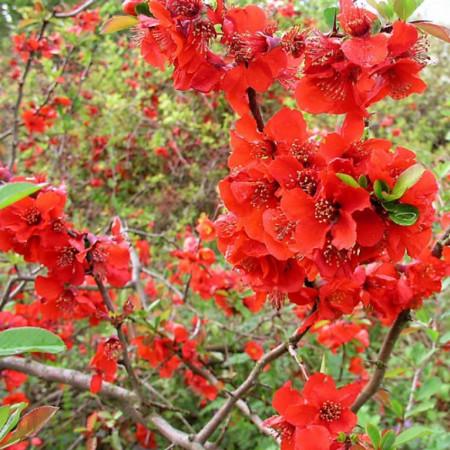 Gutui japonez Fire Dance, butasi de gutui japonez cu flori de culoare rosu aprins si fructe parfumate, aurii, comestibile, Yurta