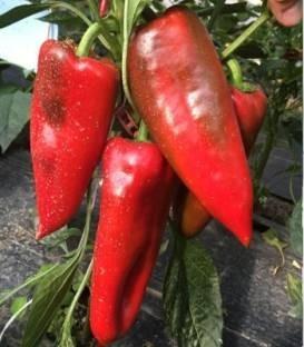 Kadet F1 - 1000 sem - Seminte de ardei kapia cu fructe mari de culoare verde la cules iar la coacere rosu aprins ce se preteaza atat culturilor infiintate in spatii protejate cat si celor in camp deschis de la Duna-R