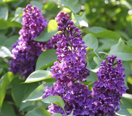 Liliac Charles Joly, arbust ornamental cu inflorescente bogate, de culoare mov inchis si parfumate, 1 arbust de 1,5-2 m inaltime, Yurta