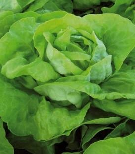 Lobela - 5 grame - Seminte de salata cu capatana mare voluminoasa avand o buna capacitate de pastrare in camp si se preteaza cultivarii primavara vara si toamna de la Enza Zaden