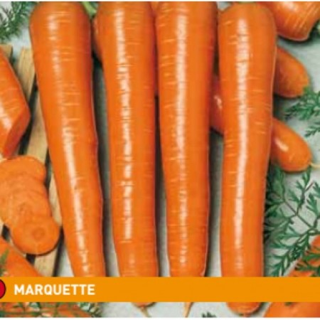 Marquette - 500 grame - Seminte de morcovi tip Nantes cu perioada de vegetatie de 110-120 zile ce se remarca prin calitate uniformitate si randament foarte bun de la Semo Cehia