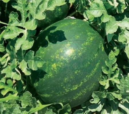 Mirza F1 - 1000 sem - Seminte pepene verde rotund coaja subtire productie mare rezistent la transport de la Syngenta
