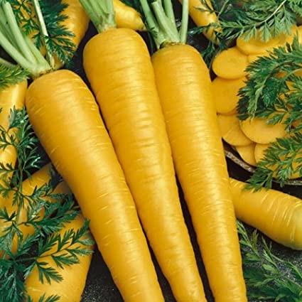 Morcovi galbeni Lobbericher (3500 seminte) soi vechi german de morcovi radacini galbene stralucitoare si lungi, Agrosem