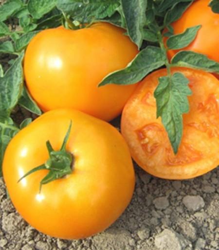 Morgan F1 (ISI 36629 F1) 1000 seminte de rosii portocalii cu crestere determinata ce se coloreaza intr-o nunanta deosebita si se remarca prin productivitate si rezistenta la boli de la Isi Sementi