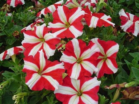 Petunie Stea Rosie HIBRID 3 - Seminte Flori Petunii de la Florian
