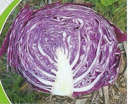 Romus F1-1000 sem.- seminte de varza rosie,90 zile,forma rotunda,2.5-3kg de la Hazera