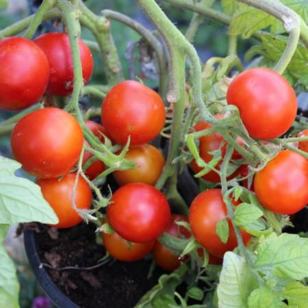 Rosii Balkonzauber (150 seminte), tomate curgatoare pentru balcon, Agrosem