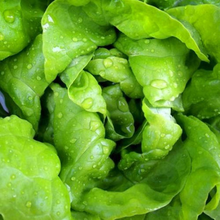 Salata May King (3 gr), seminte de salata capatana, Agrosel