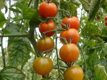 Salomee F1 - 500 sem - Seminte de rosii cherry nedeterminate ce se caracterizeaza prin capacitatea de a produce ciorchini mari cu fructe de 15-18 grame foarte rezistente la crapare de la Enza Zaden