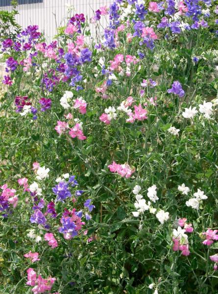 Sangele Voinicului curgatoare mix (3 g), seminte de flori divers colorate si cu parfum intens, Agrosel