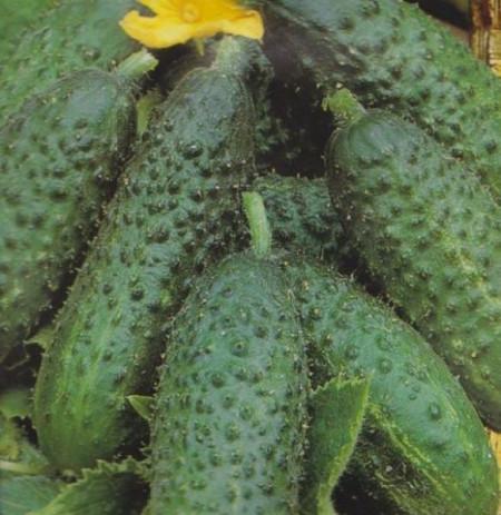 Seminte Castraveti Verde De Paris (1 kg), castraveti cornichon, Hortus Simenti