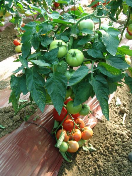 Seminte rosii Angelina F1 (1 gr), tomate roz extratimpurii de la Superior Serbia