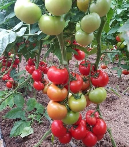 Seminte rosii Ciciu F1 (500 seminte), crestere nedeterminata, Syngenta