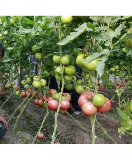 Seminte rosii HTP 11 F1 (50 seminte), tomate roz foarte gustoase, Hazera