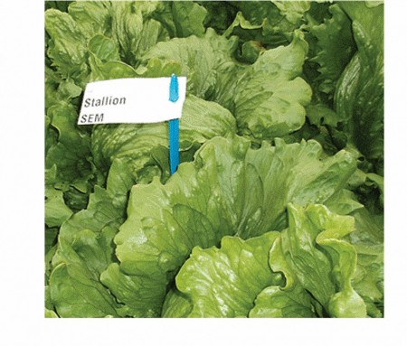 Seminte salata iceberg Stallion (5000 seminte), drajate, Seminis