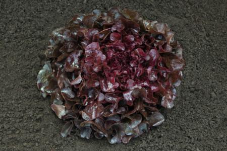 Seminte salata Oakly (5000 seminte), tip oakleaf, Bejo Zaden