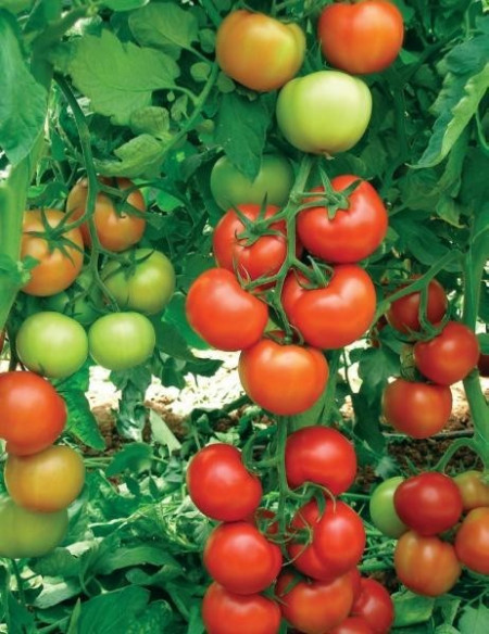 Seminte tomate Oltena F1 (10 seminte), timpurii, Agrosel