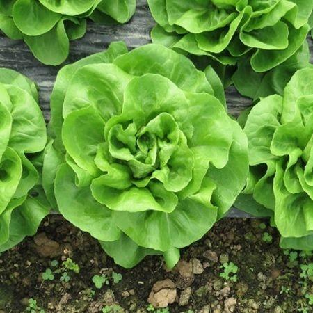 Shangore - 5000 sem - Seminte de salata timpuriu capatani cu aspect placut recomandat pentru culturi toamna iarna de la Syngenta