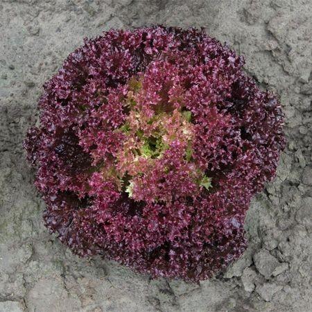 Spectation - 5000 sem - Seminte de salata ce prezinta capatani mari bine structurate alcatuite din frunze crete de culoare rosu inchis de la Bejo