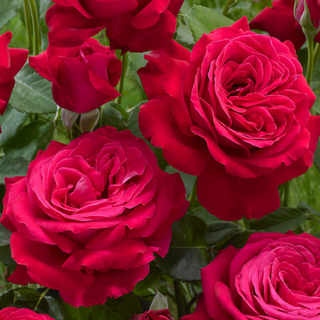 Trandafir Teahybrid Dame de Coeur, butasi de trandafiri cu flori parfumate foarte mari, de culoare rosu intens, Yurta