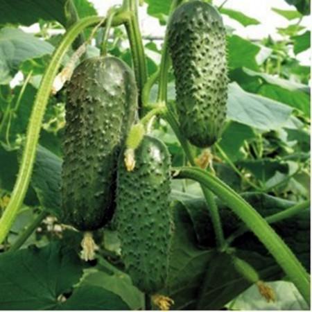 Tumi F1 - 500 sem - Seminte de castraveti tip cornichon cu fructe de culoare verde ce pot ajunge la lungimea de 12-13 cm culesi tarziu de la Enza Zaden