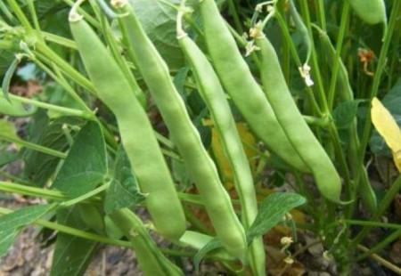 Verdana (40 grame) seminte de fasole urcatoare verde timpurie, carnoasa si frageda, Agrosem