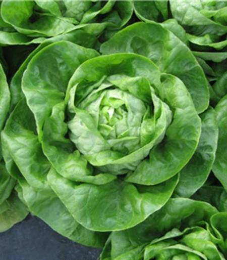 Allegiance / Valentina - 5 grame - Seminte de salata de capatana ce se preteaza excelent pentru cultivarea in sezonul rece ce poate atinge lejer greutati intre 450-550 grame de la ISI Sementi