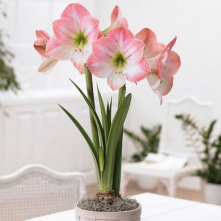 Amaryllis Apple Blossom (1 bulb), crinul de camera, floare culoare roz, bulbi de flori