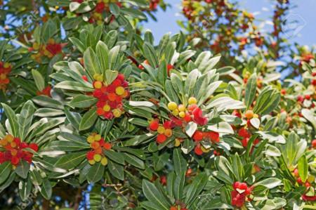 Arbore de capsuni (70 seminte) de arbore de capsuni, Vilmorin