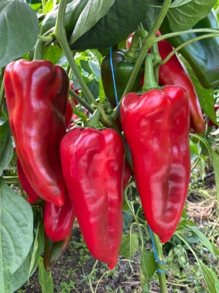 Ardei capia Valira F1 (1000 seminte) fructe mari 23-25 cm, greutate 250-300 gr, Fito Semillas
