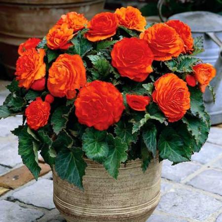 Begonie Double Orange (3 bulbi), floare mare dubla, culoare portocaliu, bulbi de flori